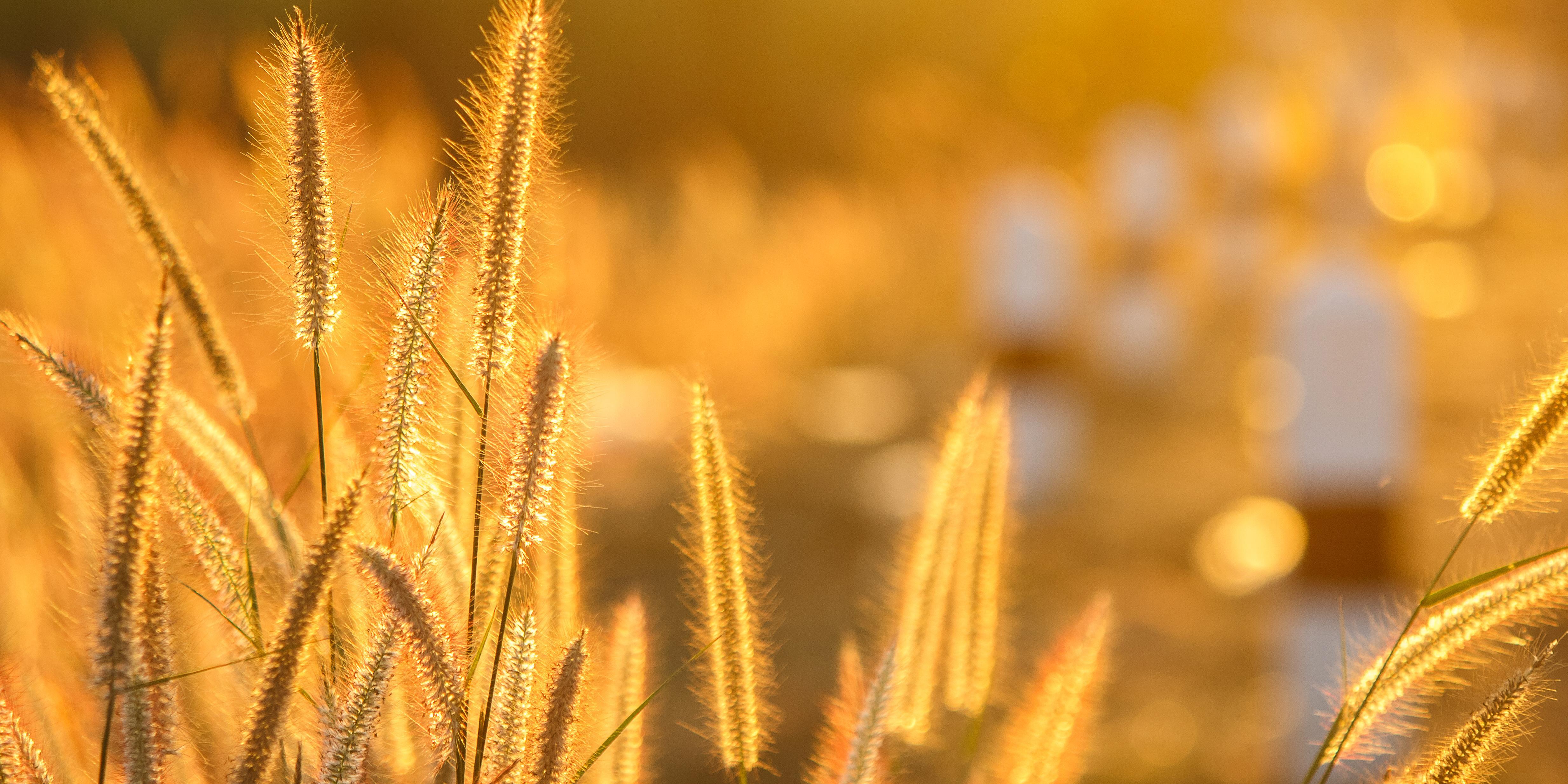 BÁT: olcsóbb lett a búza és a kukorica